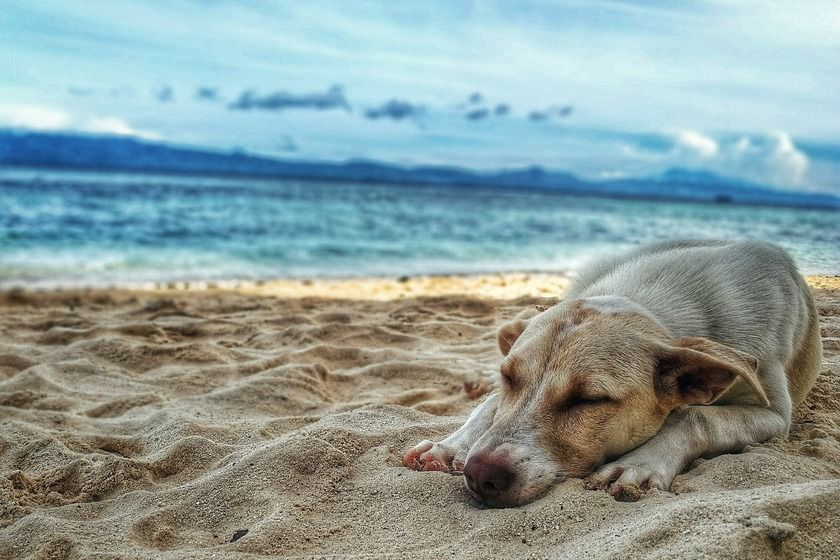 Travel with pets to Hawaii: dog on the beach